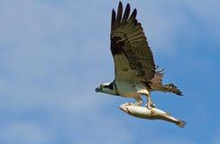 Fiskgjuse och forell Arkivfoto