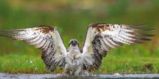 Fiskgjuse Skottland Royaltyfri Foto