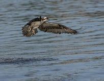 Fiskgjuse som flyger över överkanten av vattnet Arkivfoto