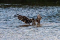 Fiskgjusebadning, J n Ding Darling National Wildlife Refuge, Arkivbilder