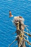 Fiskgjusen flyger i väg från rede som lämnar partnern Royaltyfri Foto
