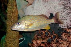 fiskgrognoren lines yellow Royaltyfri Foto
