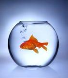 fiskguld Fotografering för Bildbyråer