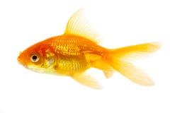 fiskguld Arkivbilder