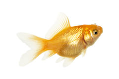 fiskguld Royaltyfria Bilder