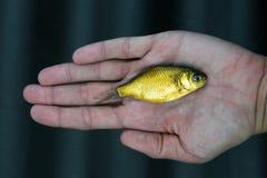 fiskguldmagi Fotografering för Bildbyråer