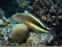 fiskhök Arkivfoton