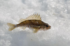 Fiskhalskrage Royaltyfria Bilder