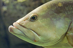 fiskhuvud Royaltyfria Foton