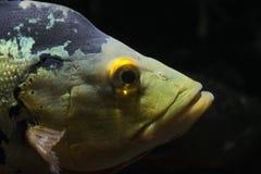 fiskhuvud Royaltyfria Bilder