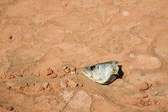 Fiskhuvud i sanden Arkivbild