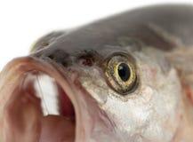 Fiskhuvud Makro Arkivbild