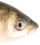 Fiskhuvud på en vit bakgrund Fotografering för Bildbyråer