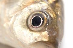 Fiskhuvud på en vit bakgrund Makro Arkivbilder