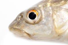 Fiskhuvud på en vit bakgrund Makro Royaltyfri Fotografi