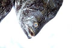 Fiskhuvud på vit bakgrund Closeup för huvud för havsfisk med gäl och skalatextur Royaltyfria Foton