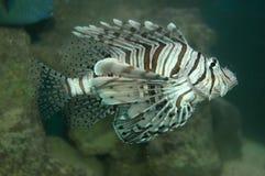 fiskkalkon Fotografering för Bildbyråer