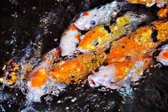 fiskkoi Arkivbild
