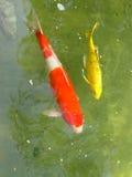 fiskkoi Arkivfoto