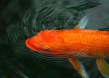 fiskkoi Royaltyfri Foto