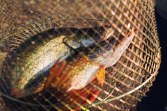 Fisklås Fotografering för Bildbyråer