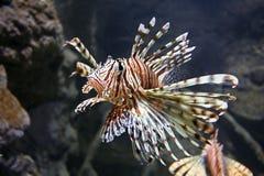 fisklion Arkivbild