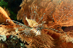 fisklion Royaltyfria Foton