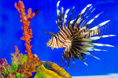 fisklion Arkivfoto