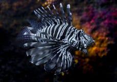 fisklion Fotografering för Bildbyråer