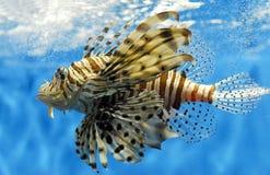 fisklion Arkivfoton