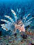 fisklion Arkivbilder