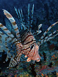 fisklion Royaltyfria Bilder