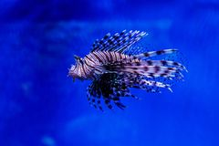 FiskLionfish - sebra, Pteroisvolitans arkivfoton