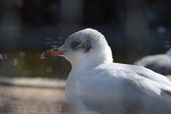 fiskmås Royaltyfri Foto