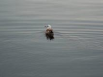 fiskmås Fotografering för Bildbyråer