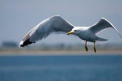 Fiskmås i ett flyg Arkivfoto