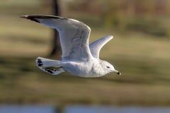 Fiskmås i flyg Fotografering för Bildbyråer