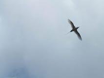 Fiskmås i himlen Fotografering för Bildbyråer