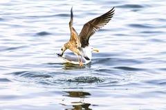 Fiskmås kormorandykar Arkivbilder