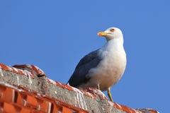 fiskmås lagt benen på ryggen tak som plattforer gult royaltyfri foto