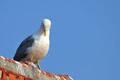 fiskmås lagt benen på ryggen tak som plattforer gult Arkivbilder
