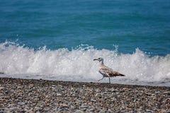 Fiskmås och hav Fotografering för Bildbyråer
