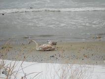 Fiskmås och svan på stranden Royaltyfria Foton