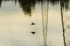 Fiskmås på floden Royaltyfria Foton