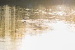 Fiskmås på floden Fotografering för Bildbyråer
