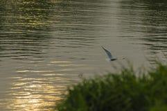 Fiskmås på floden Arkivfoton