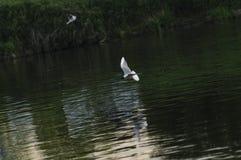 Fiskmås på floden Royaltyfri Fotografi