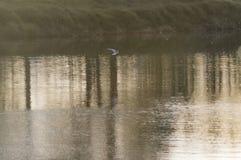 Fiskmås på floden Royaltyfri Foto