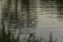 Fiskmås på floden Royaltyfria Bilder