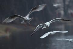 Fiskmås på landning Royaltyfri Bild
